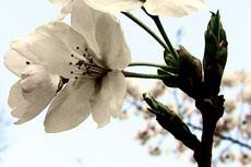 flower066