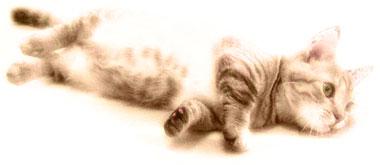 寝転がるマンチカンの子猫