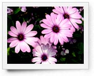 peper-curl-flower001