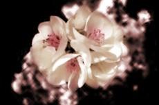 flower037