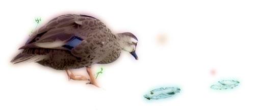水草と覗き込む鴨(カモ)