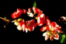 緋木瓜(ヒボケ)の写真素材