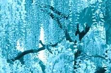 枝垂桜(シダレザクラ)の写真素材