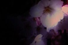 暗闇にひっそりと咲くような桜