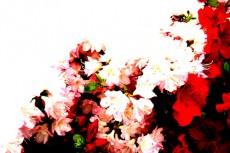 赤と白のツツジの写真素材