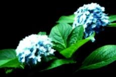 二輪の青い紫陽花(アジサイ)