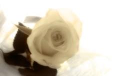 白薔薇の写真素材(2パターン)