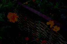 錆びたフェンスに咲くコスモス