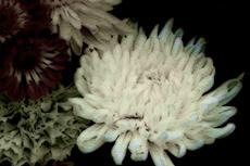 菊の写真素材