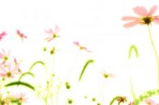 あたたかい光の中に咲くコスモス