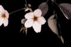 暗闇に咲く二輪の桜
