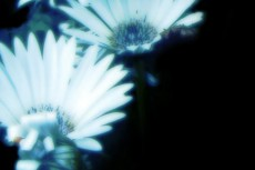 ガーベラの写真素材(2パターン)