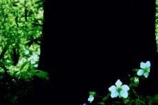 白いハナミズキの写真素材