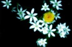 ハナニラとタンポポの写真素材