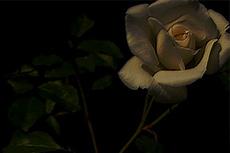 薔薇の写真素材