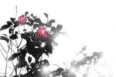 椿(ツバキ)の写真素材(6パターン)