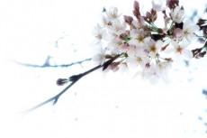 たくさんの花と蕾をつける桜