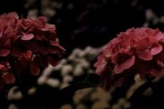濃いピンク色の紫陽花(アジサイ)