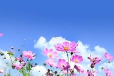青空にコスモスが咲く爽やかな秋の風景