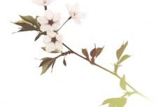 一枝に四つ花をつける桜