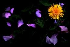 たんぽぽと花弁の写真素材