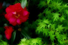 山茶花(サザンカ)の写真素材