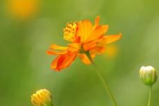 緑の中に咲くオレンジ色のコスモス