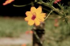 野に咲く黄色いコスモス