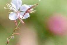 穏やかな雰囲気の白蝶草