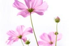 光に透けるピンク色のコスモス