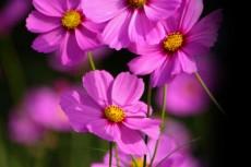 濃いピンク色のコスモス