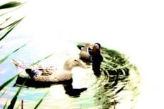 水鳥の番(つがい)