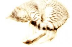 丸まって眠る猫の写真素材