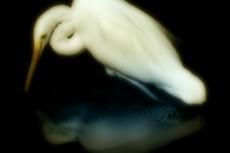水面を覗く白鷺