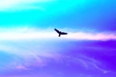 空を飛ぶトンビの写真素材