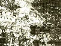 桜の木の下のベンチの写真素材