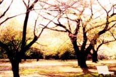 桜の木とベンチの写真素材
