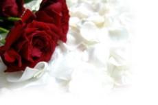 赤い薔薇と白い花びら