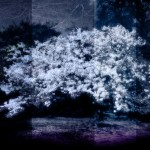 薄白い枝垂れ桜(3パターン)