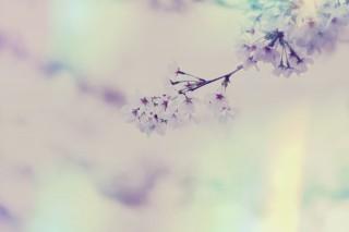 【高解像度】淡い一枝の桜(3パターン)