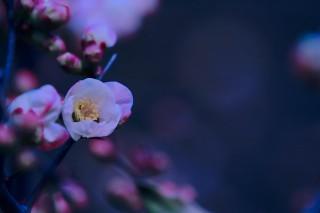 【高解像度】白紅斑の木瓜(ボケ)の花(3パターン)