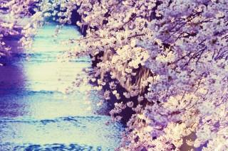 【高解像度】流れる川と満開の桜(3パターン)