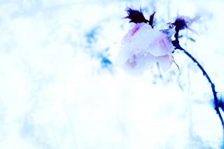 【高解像度】雪の中の薔薇(3パターン)