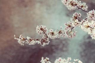 【高解像度】川辺に咲く桜(3パターン)