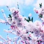【高解像度】紅白の源平花桃(ハナモモ)(3パターン)