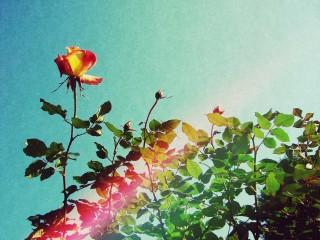 【高解像度】ビンテージ感のある一輪の薔薇(3パターン)