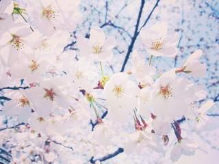 【高解像度】清々しいイメージの桜(3パターン)
