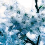 【高解像度】白く透き通るような桜(3パターン)