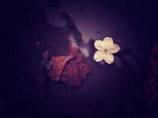 【高解像度】水たまりに落ちた桜(3パターン)