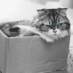 【高解像度】段ボール箱の中から睨みつける猫(3パターン)